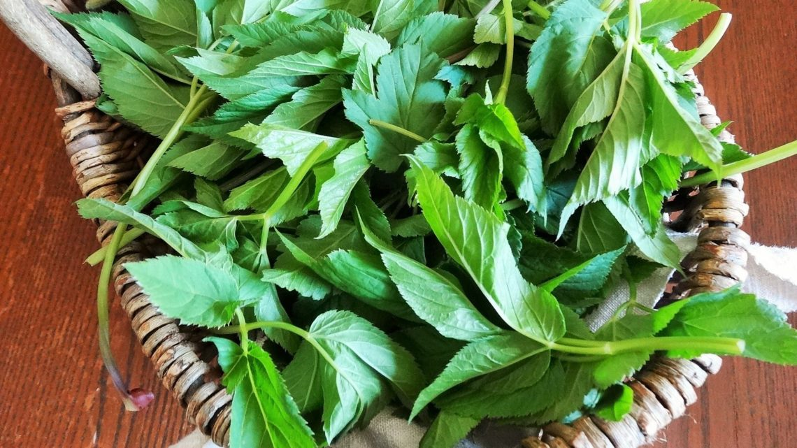 Plantes sauvages comestibles : l'égopode, abondante et délicieuse