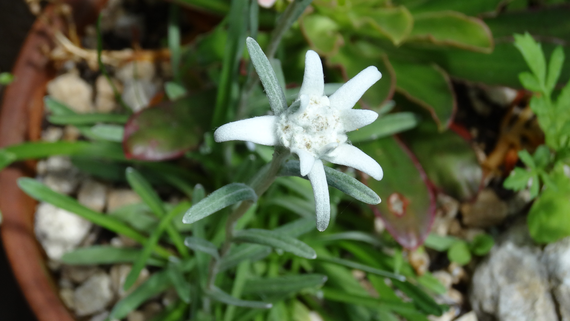 Un biotope pour Edelweiss