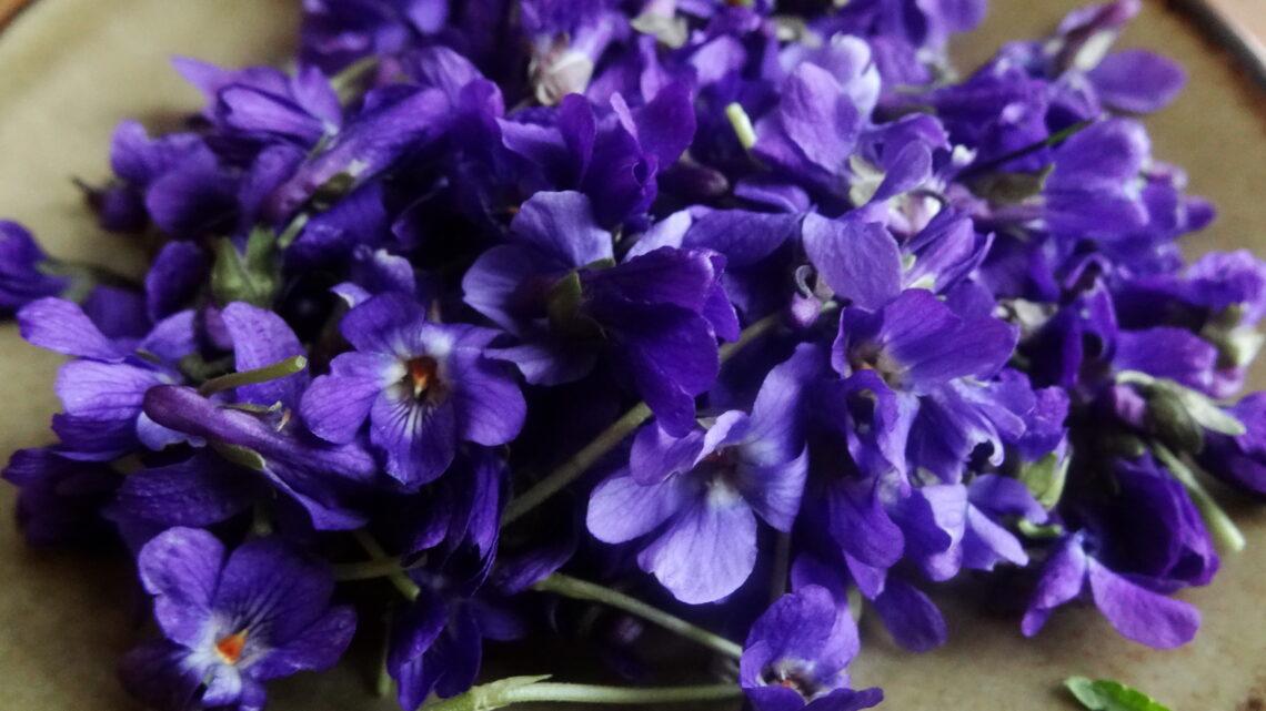 Plantes sauvages comestibles : la violette, si parfumée
